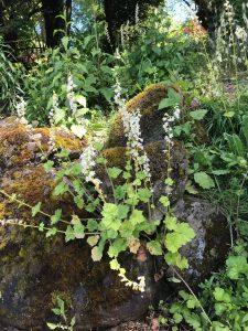Coral Bells wildflowers